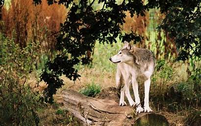 Wolves Wolf Wallpapers Pack Background Fanpop Nevada