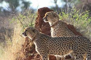 Running Wild With Cheetah Expert Laurie Marker
