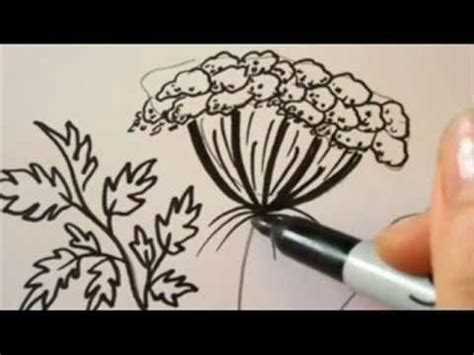 draw flowers queen annes lace drawing