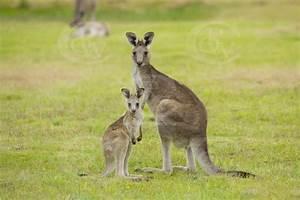 AKG0005 Eastern grey kangaroo and joey | Owen Wilson ...