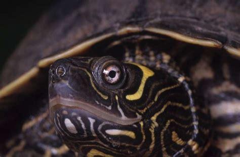 aquatic turtles tortoise trust web aquatic turtlecare