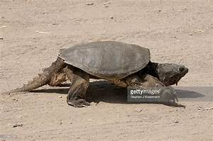 Walking Alligator Snapping Turtle Is One Of The Largest ...