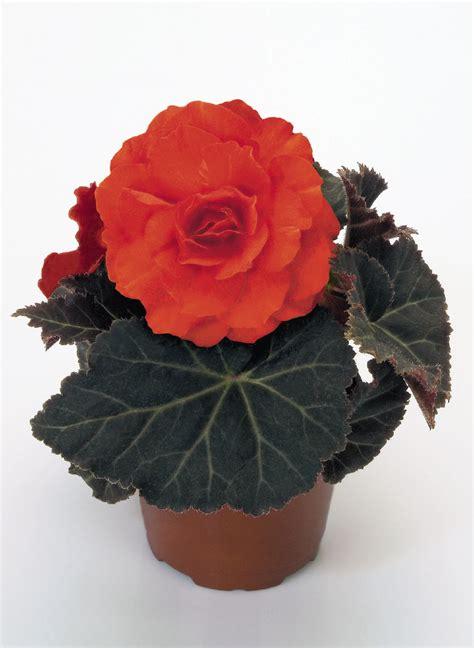 begonia tuberhybrida nonstop mocca deep orange annual
