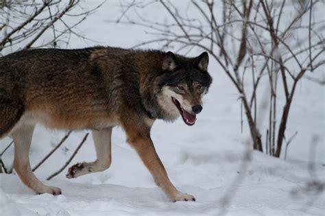 wolf walking  jrl  deviantart