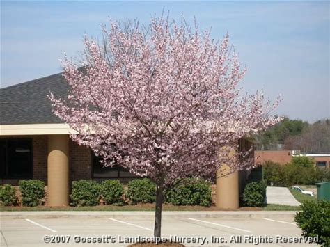 thundercloud purple leaf plum flowering plum tree thundercloud www pixshark com images galleries with a bite