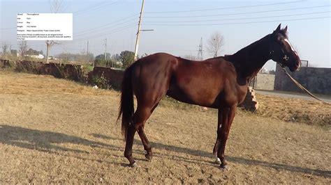 horse horses india trained number punjab thoroughbred
