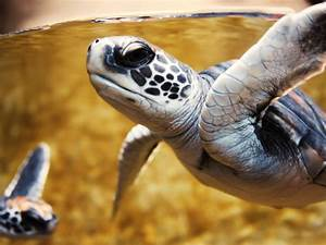 Baby Turtle Pictures, Cute Turtle Playing in the Green Sea ...