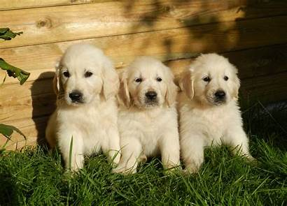 Retriever Golden Puppies Need Know Everything Puppy