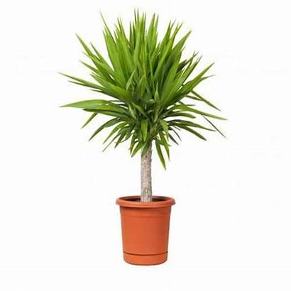 Plants Tall Indoor Houseplants Outdoor Potted Yucca