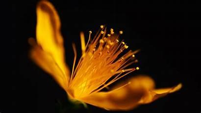 Flower Golden Desktop Laptop 4k Wallpapers Flowers