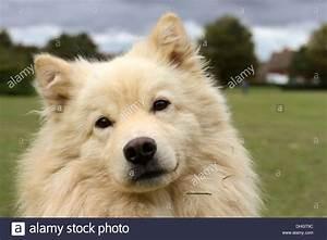 Cream Finnish Lapphund dog, head shot, looking into the ...