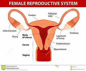 Diagram Of Female Reproductive System And Function