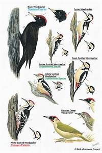 Boa Chart Plate 38 Woodpeckers A Field Guide To Birds Of Armenia