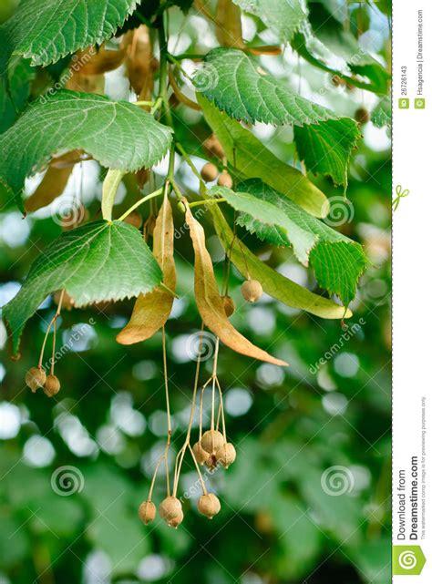 linden tree seeds closeup stock image image  health