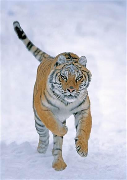 Tiger 3d Siberian Animated Animals Postcards Card