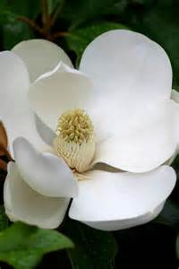 Louisiana State Magnolia Flower Facts
