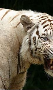 Angry Tiger | HD Animals and Birds Wallpapers for Mobile ...