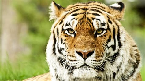 Full Hd 1080p Tiger Wallpapers Hd, Desktop Backgrounds