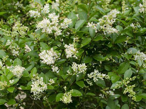 piante da cespuglio fiorite piante da giardino sempreverdi a cespuglio idee per la