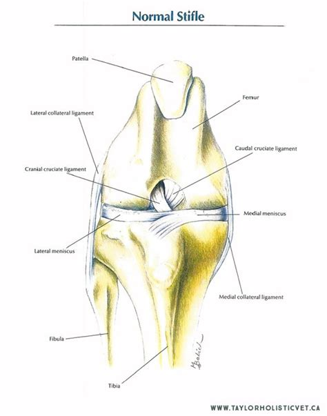 acl   called  cranial cruciate ligament ccl