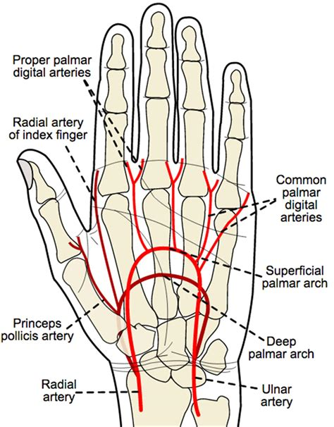 Blood Supply Hand Orthobullets