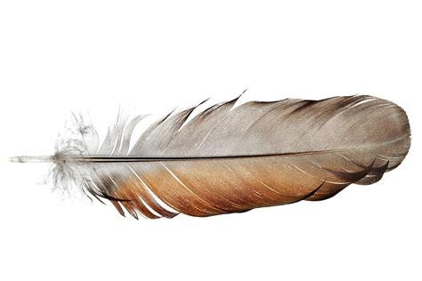 Feather Anatomy And Function
