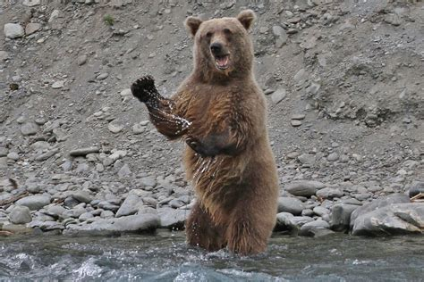 Grizzly bear, Kenai River, Alaska - Baltimore Sun