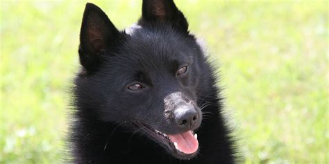 12 by 12 shed schipperke information characteristics facts names