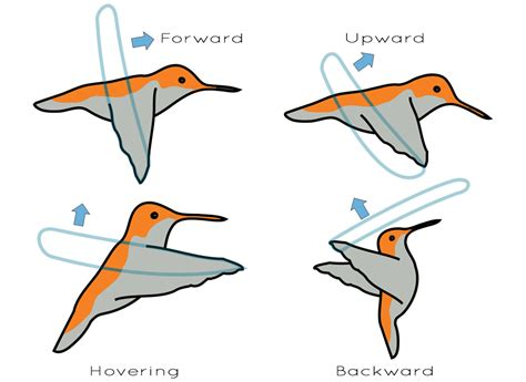 what bird can fly backwards it may suprise you