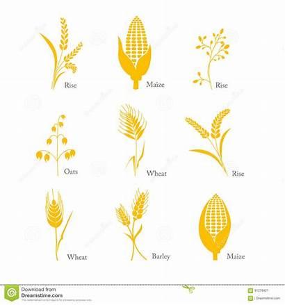 Crop Oats Wheat Barley Maize Icon Rice