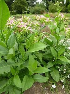 Nicotiana tabacum Images - Useful Tropical Plants
