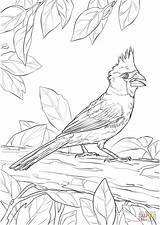 Coloring Cardinal Pages Northern Printable Nothern Drawing Drawings Designlooter 1440px 59kb 1020 sketch template
