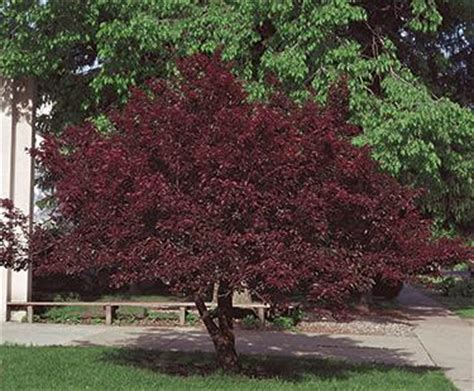 cherry tree with purple leaves purple leaf sand cherry small landscaping trees pinterest landscaping trees shrub and gardens