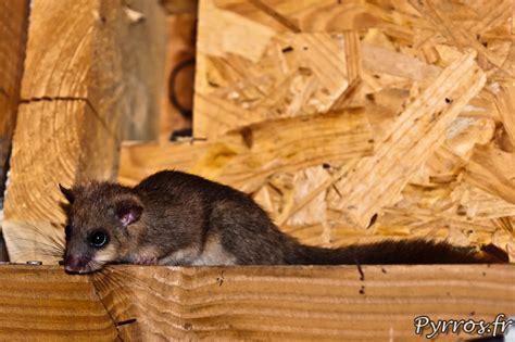 rat dans le plafond de loirs gris glis glis 224 verdalle 81
