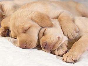 Sleeping Golden Retriever puppies photo and wallpaper ...
