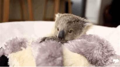 Koala Adorable Handle Photoshoot Too Koalas Behind