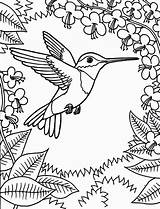 Hummingbird Ruby Throated Drawing Coloring Bird Pages Humming Colouring Getdrawings sketch template