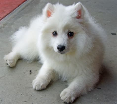 japanese spitz pictures wallpapers