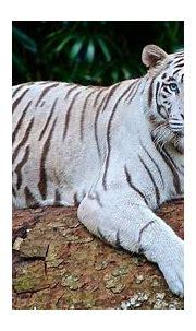 White Tiger Panthera Tigris · Free photo on Pixabay