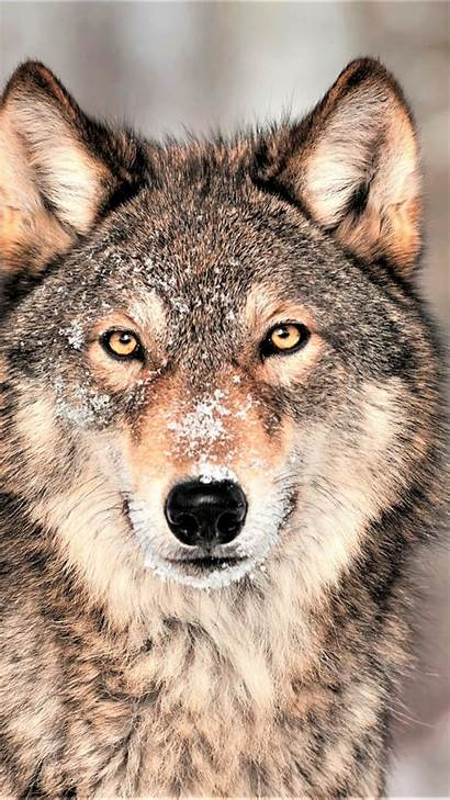 4k Wolf Mobile Grey Pc Animals Wallpapers