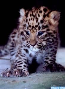 Cute Baby Animals Wild Cats