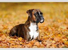Der Boxer vom Bullenbeißer zum Familienhund