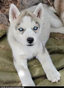 siberian husky pomeranian mix puppy