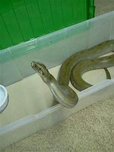 Our Green Burmese Python | Burms | Pinterest | Burmese python