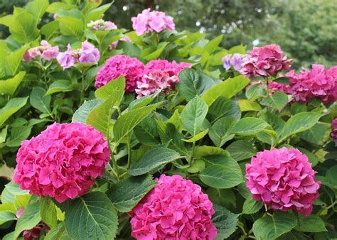 Hydrangeas How To Plant, Grow, And Prune Hydrangea Shrubs