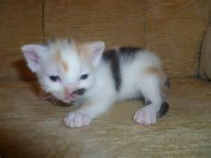 Blue Calico Cat Kittens