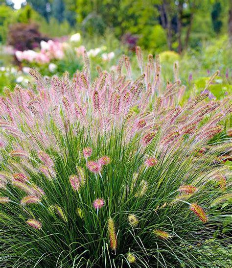 Garten Kaufen Hameln by Lenputzergras Quot Hameln Quot 3 Pflanzen Garten