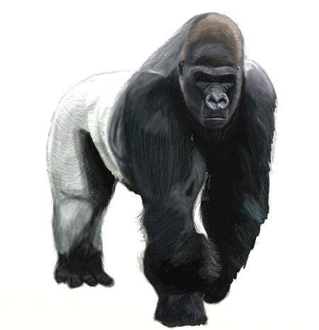 draw  gorilla
