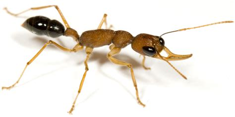 Asu Scientists Among First To Sequence Ant Genomes