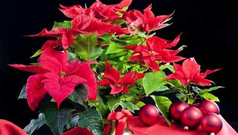 Ziemassvētku zvaigzne puķu podiņā - puansetija - DELFI